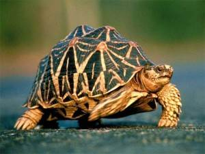 Панцирь-черепах-Свойства-и-применение-1