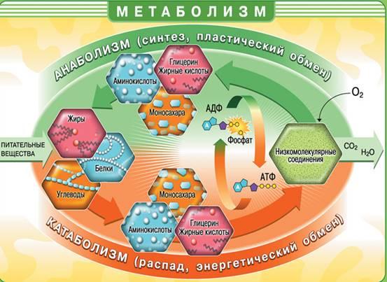 Как-ускорить-метаболизм-и-всегда-оставаться-здоровым-2
